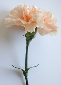 About Spiritual Counselling and Psychosynthesis Psychotherapy. even smaller carnation